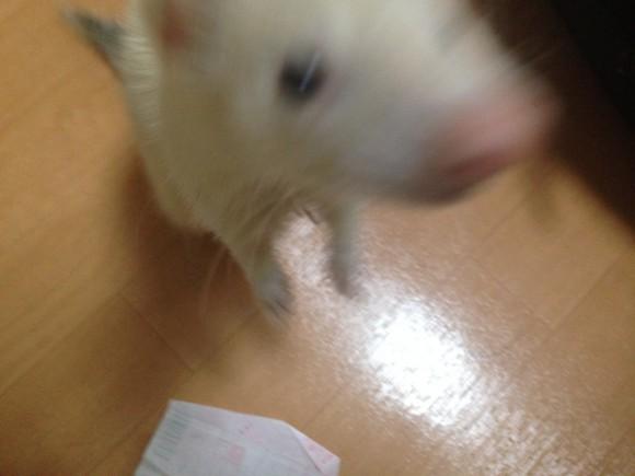 ペットの小太郎 フェレット
